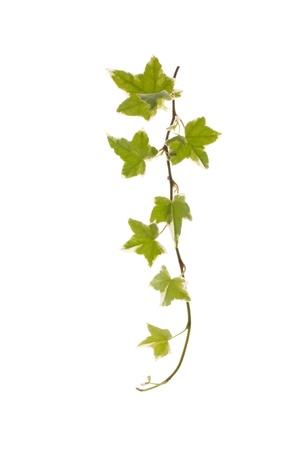 climbing plant: Green ivy  Stock Photo