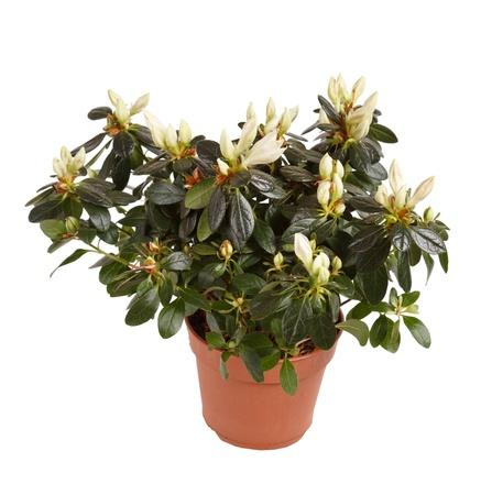 gardenia: white gardenia plant