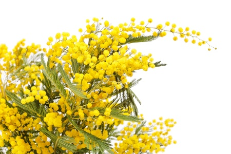 branch of a mimosa on a white background  Stock Photo - 9268734