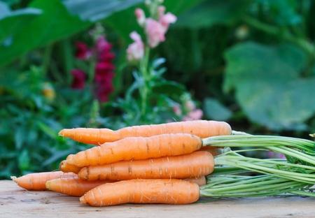 Fresh organic carrots  photo