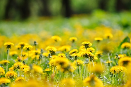 dandelion field: Field of dandelions