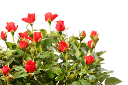 red bush: Red roses in a pot  Stock Photo