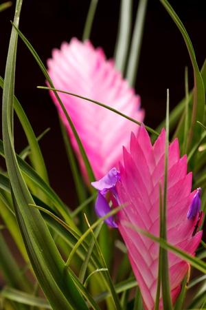 tillandsia: tillandsia flower