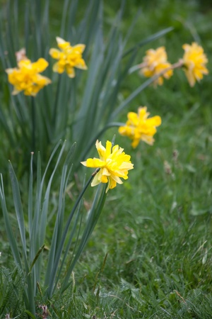 bluer: yellow daffodils in the garden