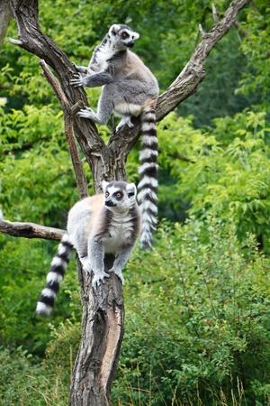 Cute Lemurs