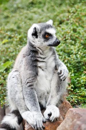 fussy: Cute Lemur  Stock Photo