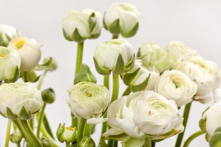 white Ranunculus  photo