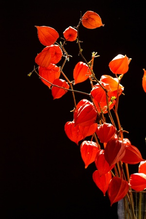 alkekengi: Physalis alkekengi isolated on a dark background Stock Photo