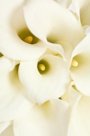 calla flowers  photo