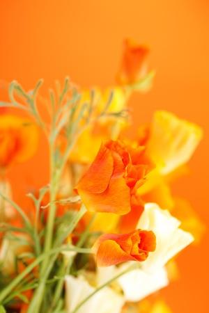 beautiful poppie flowers photo