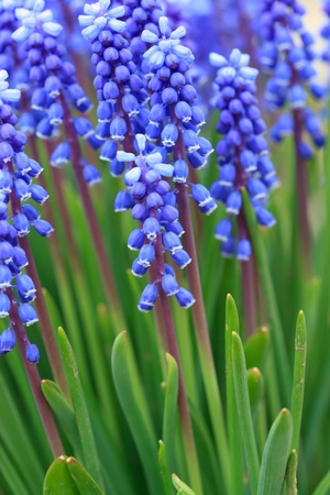 Grape hyacinth in spring  photo