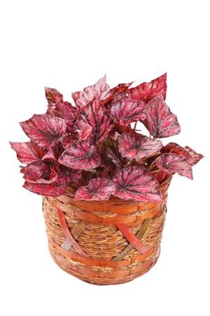 begonia in pot  photo