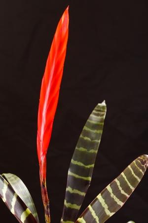 vriesea: Window plant vriesea splendens