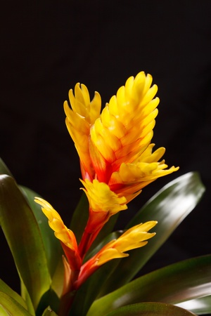 "vriesea: Finestra pianta ""Vriesea splendens"" Archivio Fotografico"