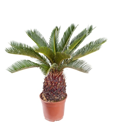 cycadaceae: palm in the pot