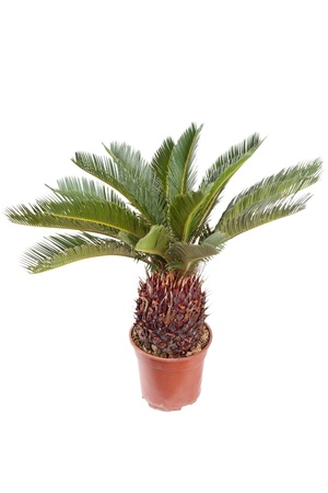 cycas: palm in the pot