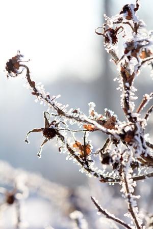Frosty dog-rose  photo