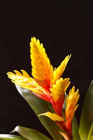 splendens: Window plant vriesea splendens