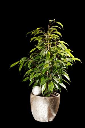 ficus: ficus in the pot Stock Photo