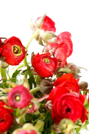 ranunculus: red Ranunculus  Stock Photo