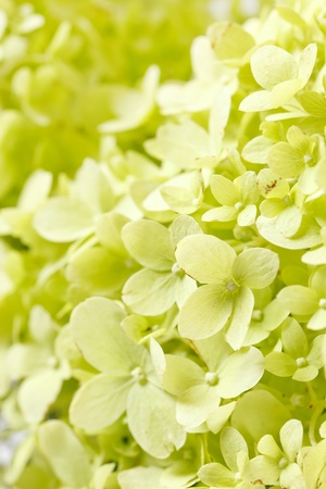 beautiful hydrangea photo