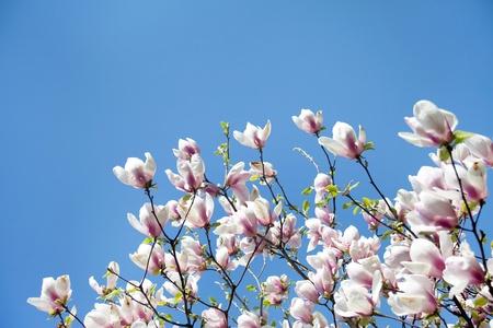 magnolia trees over blue sky photo