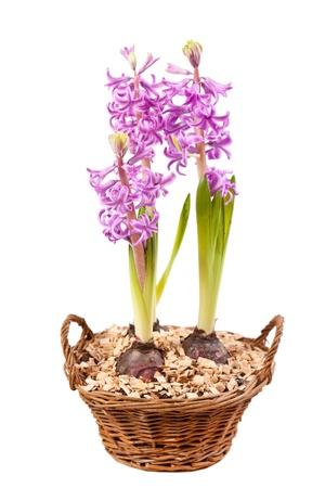 Pink hyacinths photo