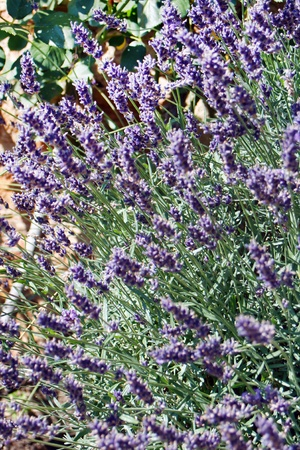 Lavender  in the summer  photo