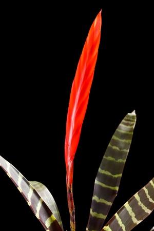 """vriesea: impianto """", Vriesea splendens"""","""