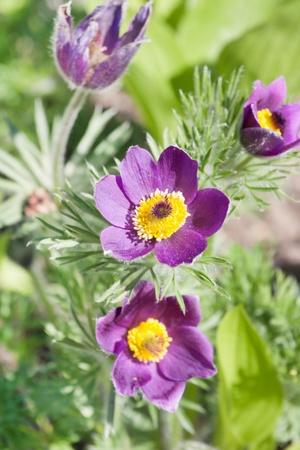 pulsatilla: Pasque-flower  Stock Photo