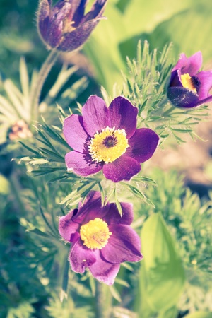 pasqueflower: Pasque-flower  Stock Photo
