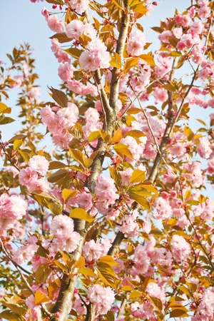 Japanese cherry with blossom  Stock Photo - 12985178