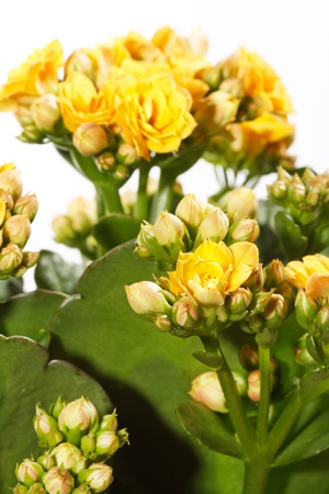 houseplant: houseplant Kalanchoe in pot  Stock Photo