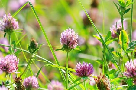 flower clovers  photo
