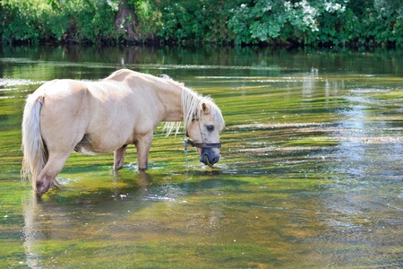 caballo bebe: caballo de agua potable en un r�o