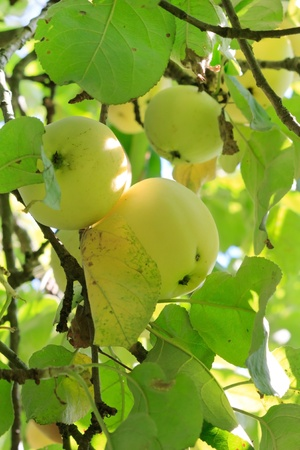 green apples on a branch  photo