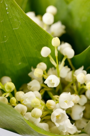 Lily-of-the-valley flowers photo
