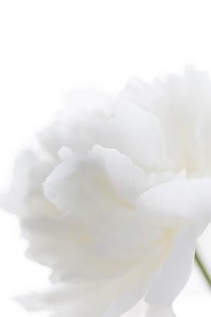 white: white peony