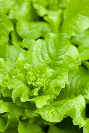 fresh lettuce photo