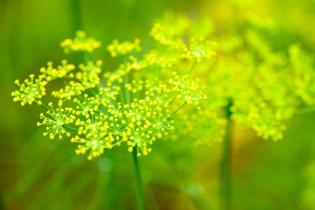 umbel: flowers of dill Stock Photo