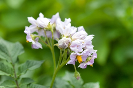 flower of potato plant  photo