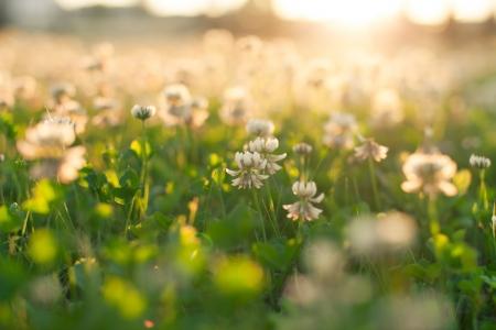 White clover  photo