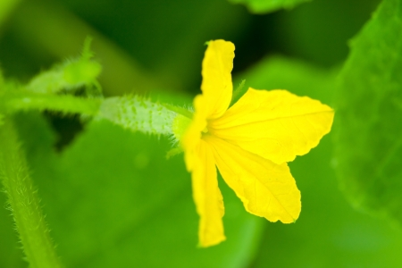Green cucumbers with flowers photo