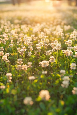 White clover  photo