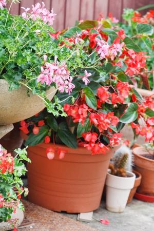 geranium pots photo
