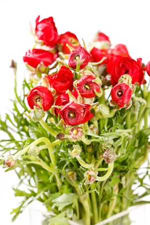 red Ranunculus  Stock Photo - 16612629