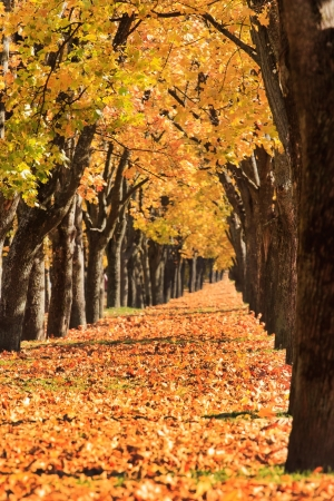 avenues: autumn alley Stock Photo