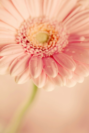gerbera flower photo