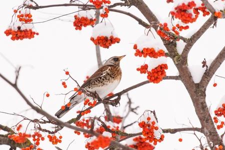 european rowan: Fieldfare on the tree