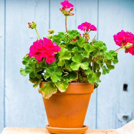 Geranium in the pot photo
